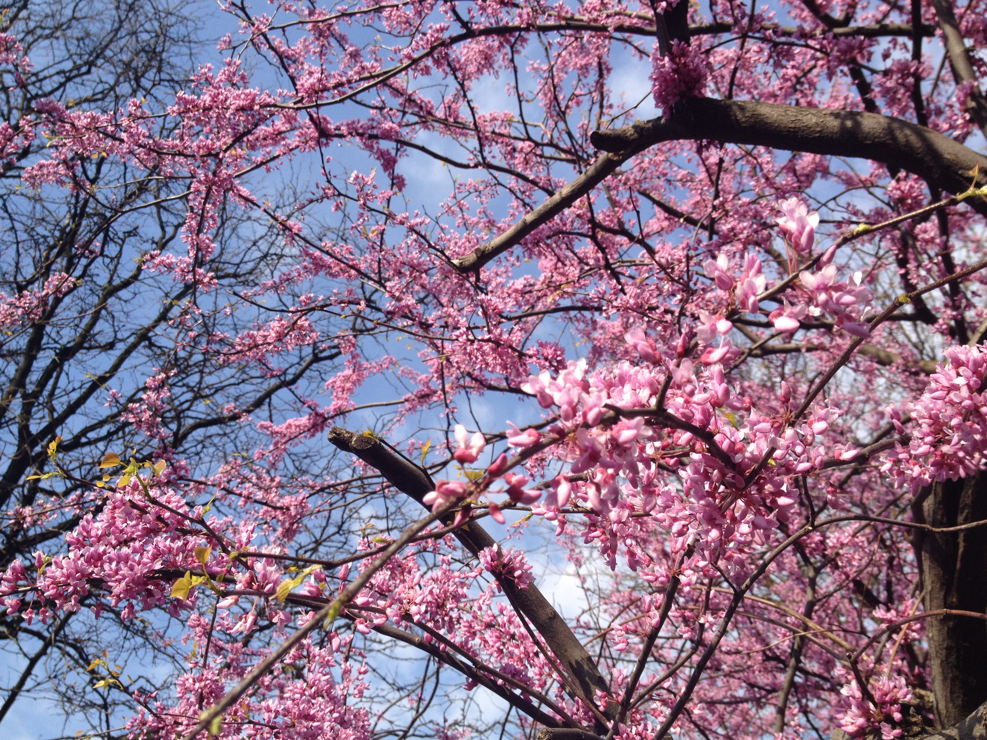 april, cherry blossoms in central and riverside parks
