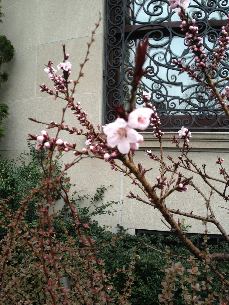pink buds blooming