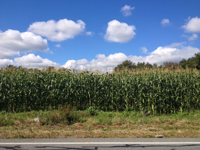 Is there anything prettier? A field of corn near the Cornwall House.
